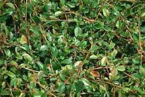 Bodendecker kriechend Cotoneaster dammeri  Radicans    10-20 cm  50 Stück