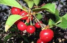 May sweet Cherry (Maika) | Prunus avium 10+ seeds