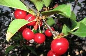 May sweet Cherry (Maika)   Prunus avium 10+ seeds