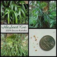 20+ ELKHORN FERN SPORES (Platycerium bifurcatum) Native Tropical Hanging Plant