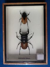 PAIR OF REAL STAG BEETLES ODONTOLABIS ELEGANS TAXIDERMY BEETLE INSECT ENTOMOLOGY
