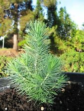 LIVE Pine TREE or SEEDS or 15.8oz  Needles cuttings Pinus Pinea Pinus pinaster