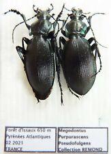 Carabus megodontus purpurascens pseudofulgens (pair A2) from FRANCE (Carabidae)
