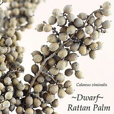 ~Dwarf Rattan Palm~ Calamus viminalis makes Canella Berries Small potted plant
