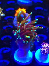 Pop Corals Dragon Soul Torch WYSIWYG Live Coral Frag - Pop Corals Candy Shop