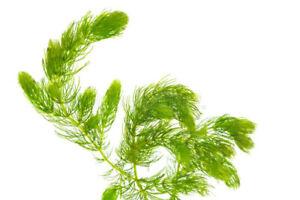 "BUY 2 get 1 FREE Hornwort Coontail 6-8"" plant"