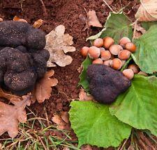 2Truffle Trees(Hazel tree inoculated with the Black Summer or Burgundy Truffle)