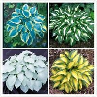 100 pcs/bag hosta plants seeds bonsai flower seed perennial herb