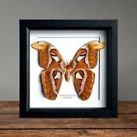 Atlas Moth (Attacus atlas) in Box Frame interior design