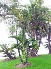 Comoro Islands Tropical Clumping Rare Palm Dypsis lanceolata (10 seeds)