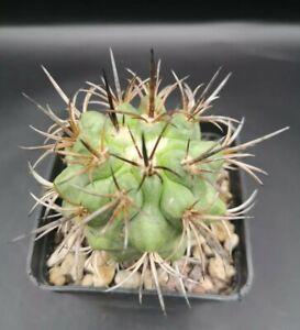 Copiapoa echinoides DURA own roots POT cm 7 Cod 1690 Succulent Cactus