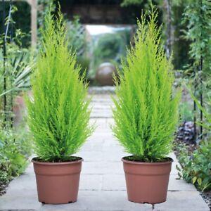 Cupressus Wilma Goldcrest Evergreen Conifer Tree in 8.5 Cm Pot 30 cm