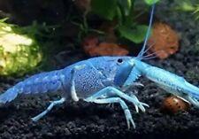 2 Electric Blue Crayfish, Young Adult, Juvenile