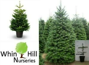 4x Abies Nordmanniana  plant Non Needle Drop Christmas Evergreen FIR TREE Potted