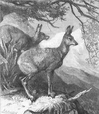 DEER. The musk deer, antique print, 1869