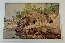 1923 book leaf print~ Hippopotamus