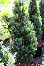 Dee Runk Boxwood - Live Plant - Shipped Over 1 Foot Tall