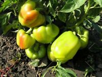 Sweet Pepper Seeds LADA red green pepper organic non gmo Ukraine 20 seeds D