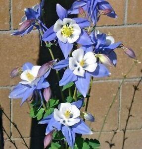 ** Aquilegia / Granny Bonnets Plant - Seeds - BLUE STAR * Rare **