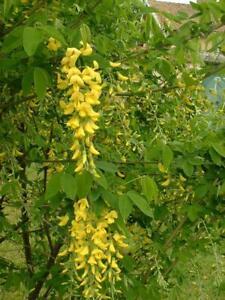 Laburnum anagyroides Common laburnum Young Plant 9cm pot x 3 Pots/Plants