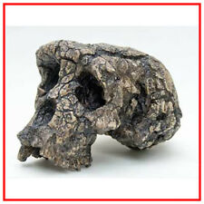 Reproduction FOSSILE crane Toumaï Sahelanthropus tchadensis Fossil skull replica