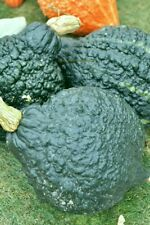 SQUASH, GREEN HUBBARD , 35  Heirloom, Non-gmo, gluten free Seeds FREE SHIPPING