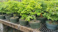 BRAZILIAN RAINTREE LARGE  INDOOR BONSAI PRE BONSAI 8 INCH POT