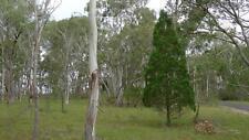 Black Cypress Pine (Callitris endlicheri) 50 Seeds
