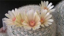 15 graines de Mammillaria blossfeldiana semillas cactus seeds