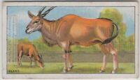 Eland African Antelope 90+ Y/O Trade Ad Card