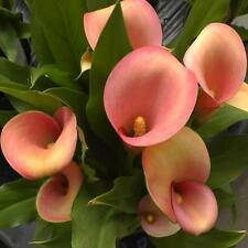 Calla Lily Coral Passion 3 Bulbs Spring Summer Bloom
