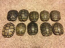 10 Real Turtle Shells - 7 - 8 inch Long - Red Eared Slider - Carapace Taxidermy