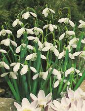 10, 25 oder 50 Schneeglöckchen Galanthus Blumenzwiebeln Lieferbar 9.9