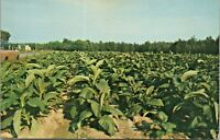 Tobacco Field Southern United States RPO Postmark 1959 Vintage Postcard - Posted