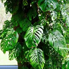 Philodendron Partial Shade House Plants