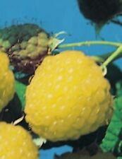Rubus idaeus Golden Queen (20 - 40 cm) - gelbe Himbeere