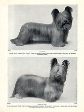 WESTIE TERRIER DOGS IN VARIOUS POSES LOVELY OLD 1934 DOG PRINT