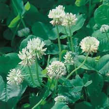 Kings Seeds - Green Manure - Clover White (Trifolium repens) P - 30sq m