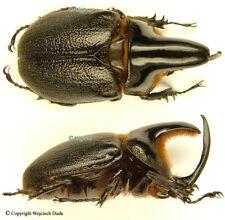 Heterogomphus schoenherri - pair, very nice! Venezuela