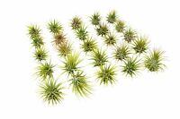 25 Ionantha Bulk Air Plants Pack