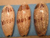 Oliva Sericea 3 Shells 68-73mm Don Island Cebu,Philippines 10-15 meters Coral Re