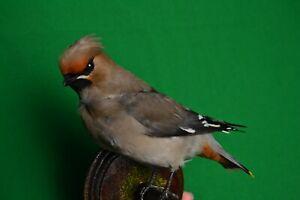Real Taxidermy Bombycilla garrulus Colored Bird Scarecrow New