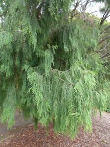 Cupressus funebris - Chinese Weeping Cypress Conifer Tree Plant in 9cm Pot