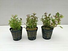 3 Töpfe Lobelia cardinalis mini - Kardinalslobelie mini Wasserpflanzen 2,70€/Stk