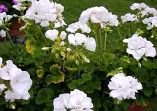 F2 GARDEN GERANIUM WHITE - 10 seeds  - Pelargonium zonale
