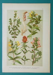 FIELD FLOWERS 1896 Color Litho - Yellow Rattle Eyebright Toothwort Cow Wheat