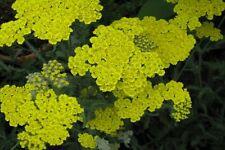 Gelbe Schafgarbe Achilea filipendulia Coronation Gold Sommerblüher