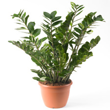 Zamioculca Zamiifolia Houseplant - Premium Indoor Potted House Plant In 13cm