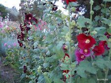 40 Hollyhock Seeds 20 BURGUNDY & 20 PURPLE (or your choice).