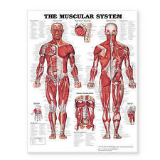 NEW The Muscular System Giant Chart by Anatomical Chart Company